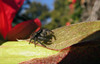 Behind the blossum (TJ Gehling) Tags: arachnida araneae spider salticidae jumpingspider johnsonjumpingspider phidippus phidippusjohnsoni plant flower malpighiales passifloraceae passionflower passionvine passiflora ohlonegreenway elcerrito