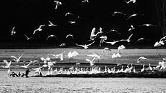 Not just Little Egrets ..... (robvanderwaal) Tags: reiger natuur birds vogel vlucht aalscholver kleinezilverreiger meeuw mono egret flight rvdwaal zw bif vogels egrettagarzetta 2017 blackwhite monochrome zwartwit reigers bird robvanderwaalphotographycom blackandwhite littleegret nature bw zilverreiger birding outdoor wildlife