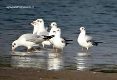 DSC00806 Black-headed Gull (Chroicocephalus ridibundus) (vlupadya) Tags: greatnature bird animal aves fauna indianbirds blackheaded gull chroicocephalus kundapura karnataka