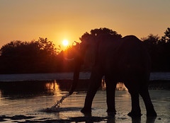 Elephant in the sunrise (Michael Guthmann) Tags: botswana omdolympus safari wildlife wildernesssafaris wilderness sunrise 40150mm28 40150mm128 40150mmf28 40150mmpro