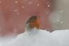 Robin (Parishes of the Buzzard) Tags: robin explore nature garden snowing