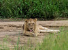 Keep an eye on (jaffles) Tags: southafrica südafrika krügernationalpark kruger np wildlife safari natur nature olympus beautiful