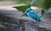 Small Blue Kingfisher - Cerulean Kingfisher - Alcedo coerulescens -7927 (Theo Locher) Tags: smallbluekingfisher vogels ceruleankingfisher alcedocoerulescens birds vogel oiseaux indonesia indonesie bali nusapenida copyrighttheolocher