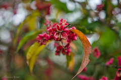 20 dicembre 2017, bacche di Evonimo (adrianaaprati) Tags: evonimous plant leaves fruits berries red december heart hearts lobes nature park pink blur bokeh outdoors