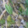 Kleinia neriifolia-3 (SUBENUIX) Tags: altressuculentes kleinianeriifolia suculentas subenuix subenuixcom planta suculent suculenta botanic botanical