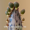 Kalanchoe daigremontiana-5 (SUBENUIX) Tags: crassulaceae kalanchoedaigremontiana suculentas subenuix subenuixcom planta suculent suculenta botanic botanical