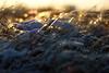 DSC04534 (mikael.kha248) Tags: wintersolstice sunset sunspot sudown sun sunlight depthoffield landscape nature snow winter december 2017 december17 december2017 winter17 winter2017 alone micro macro micromacro botanic botanica flora ice