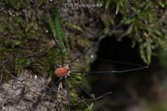 Harvestmen (Order: Opiliones) from Piemonte, Italy (lorenzobertola) Tags: opiliones italy alps moss macro arachnid canon 100mm harvestmen daddylonglegs daddy long legs