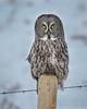 "Wishing You ""Owl"" a very Merry Christmas (Turk Images) Tags: aspenparkland borealfringe greatgrayowl strixnebulosa alberta birds ggow opal owls strigidae winter"