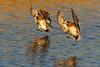 Golden light landing (bodro) Tags: bolsachica bird birdinflight birdlanding birdphotography duck ecologicalreserve goldenlight reflection shallows wetlands wigeon wingsup