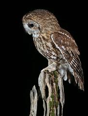 Tawny Owl (oddie25) Tags: canon 300mmf28ii 1dx owl tawny tawnyowl birds birdphotography bird birdofprey owls nature naturephotography wildlife wildlifephotography