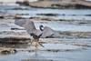 Late year touch down (Wiktor Kettel) Tags: australia sunshinecoast heron beach sea pacificocean vacation bird landingbird qld queensland moffatbeach pacificreefheron korallhäger häger