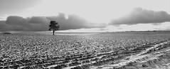Le pin solitaire (Michel Seguret Thanks for 11,8 M views !!!) Tags: france nature natur natura massifcentral froid cold frio kalt saison season winter inverno invierno neige snow neve schnee michelseguret nikon d pro lozere causse mejean