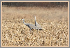\/\/\/ Cranes In Grains - I. /\/\/\ (Wolverine09J ~ 1.5 Million Views) Tags: sherburnenwrnov17 sandhillcranes foraging avianwildlife migratory autumn cropfield nature minnesota duo northamerican feathersbeaks
