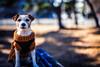 First  Shot of 2018 (moaan) Tags: sigma50mmf14dghsm kobe hyogo japan dog jackrussellterrier kinoko portrait dogportrait january newyearsday dof depthoffield bokeh bokehphotography utata 2018 50mm f14