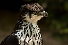 all in the plumage (jeff.white18) Tags: africanhawkeagle hawk eagle preditor birdofprey feathers eye bird beak plumage nature portrait flickr