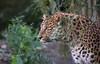 LEO (babsbaron) Tags: nature tiere animals katzen raubkatzen cats bigcats leopard chinesischerleopard hamburg tierpark hagenbeck