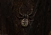Tullera Tharpyna (dustaway) Tags: arthropoda arachnida araneae araneomorphae thomisidae tharpyna barkcrabspider australianspiders female tullerapark tullera northernrivers nature nsw australia