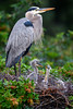 Great blue heron (Ardea herodias) with two week old chicks at Venice Audubon Rookery, Venice, Florida (diana_robinson) Tags: greatblueheron ardeaherodias twoweekoldchicks venicerookery chicks heronchicks heron nest veniceaudubonrookery venice florida abigfave