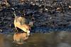 Parrot Crossbill Santon Warren Norfolk 6 (JohnMannPhoto) Tags: parrot crossbill santon warren norfolk bird drinking