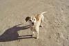 socidelnegoci (mateuduna) Tags: dog playa mascota animal pointer