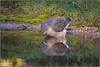 Sparrowhawk (image 2 of 3) (Full Moon Images) Tags: rspb sandy lodge thelodge wildlife nature reserve bedfordshire bird birdofprey pool pond reflection washing bathing bath sparrowhawk