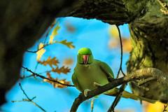 peekaboo! (stellagrimsdale) Tags: parakeet ringneckedparakeet tree branch branches vibrant green bird sky blud oak beak orange peekaboo