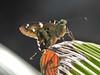 Interrupted Longtail (d_taron) Tags: mexico michoacán butterflies hesperiidae eudaminae urbanus urbanuspronta