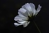 Cosmos catching the light (Maureen Pierre) Tags: flower garden cosmos light back view dark background white petals