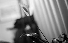 Peace lily (RPStrick) Tags: peace lily flower plant leica m262 7artisans 50mm f11 black white monochrome bw lilly leaves light curtains