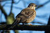 Mistle Thrush in a Tree (queeny63) Tags: elements