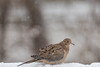 another dusting (jimmy_racoon) Tags: canon 400mm f56l 5d mk2 mourning dove birds dusting nature snow winter canon400mmf56l canon5dmk2 mourningdove