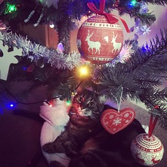 Feline Festive (sarahgraham7) Tags: feline festive home tabby cateyes decorations christmaslights christmastree tabbycat cats lights light cat christmas