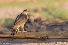 Gavilán de Cooper, Cooper's Hawk (Accipiter cooperii) (Corriplaya) Tags: coopershawk aves california gavilandecooper accipitercooperii