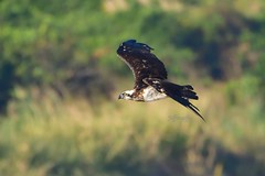Osprey 魚鷹 (Jeffreycfy) Tags: birds birding nature wildlife animals nikon d500 nikkor200500mmf56e tc14eiii pandionidae pandionhaliaetus raptors osprey 猛禽 鶚科 鶚 魚鷹