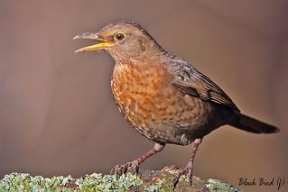 BLACKBIRD (f)  //  TURDUS MERULA  (26cm)