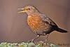 BLACKBIRD (f)  //  TURDUS MERULA  (26cm) (tom webzell) Tags: naturethroughthelens