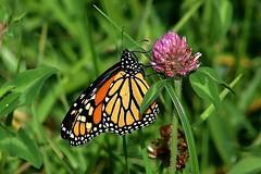 Monarch Butterfly 418 - Danaus Plexippus (Chrisser) Tags: insects insect butterflies butterfly monarch danausplexippus nature ontario canada canoneosrebelt6i canonef75300mmf456iiiusmlens nymphalidae