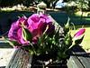 267. ROSE: Purple Perspective (Meili-PP Hua 2) Tags: flowre flowers blooms petals pistils buds leaves plant bush shurb mlpphflora mlpphnature macro pink purple mauve crimson lilac rose roses photographypassionsxyz