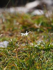 Eremogone juncea 老牛筋 (小铖smalltown) Tags: eremogone caryophyllaceae