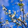 梅花Plum blossom (游萬國) Tags: 梅花 白