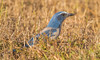 IMG_3869 Endangered Scrub Jay in Cape Coral, Florida (Wallace River) Tags: capecoral florida scrubjay