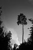 ein einzelner Baum (Demarmels) Tags: wald baum bäume natur uster lichtundschatten hell dunkel sw schwarzundweiss schweiz greifensee lichtung
