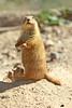 Prairie Dogs (craigsanders429) Tags: arizonasonoradesertmuseum prairiedogs animals desert sonorandesert tucsonarizona