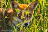 Fox in the Long Grass (SLHPhotography1990) Tags: red fox native british animal nature mammal vulpes summer long grass green colours beauty beautiful wonder awe trust wild wildlife isleofwight top20foxes