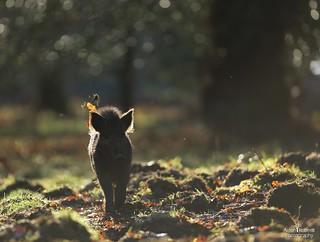 Backlit wild boar
