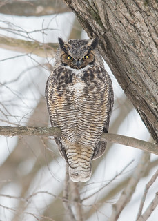 Grand-duc d'Amérique - Bubo virginianus - Great Horned Owl
