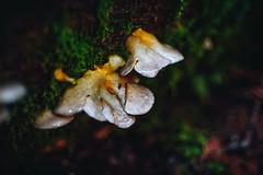 vancity2-4514 (Viv Lynch) Tags: canada britishcolumbia vancouver vancity westcoast pacificspiritregionalpark forest park trees outdoor hiking bc pacific nature mushroom fungi mycology mushrooms fungus