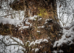 8162 (1 of 1) (sallyjane6) Tags: snow snowyday newlife buds winter bedford holly macro closeup