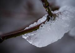 8121 (1 of 1) (sallyjane6) Tags: snow snowyday newlife buds winter bedford holly macro closeup